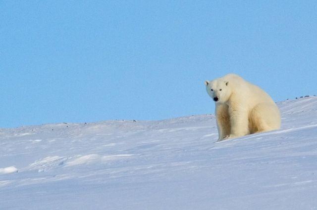Старейшая в России белая медведица умерла в Пермском зоопарке