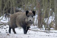 В Калининградской области планируют полностью истребить кабанов.