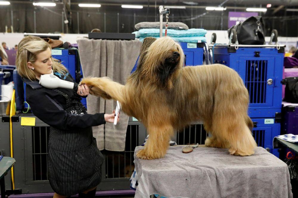 Собака по кличке Джамбо породы бриар в первый день выставки Westminster Kennel Club.
