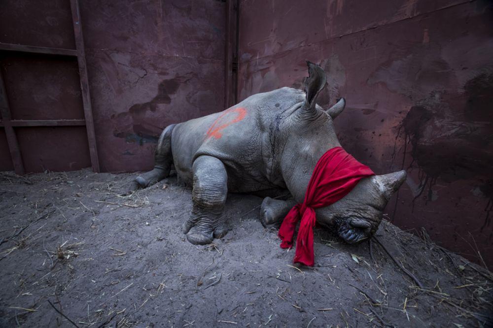 Белый носорог с завязанными глазами перед тем, как будет выпущен в Дельту Окаванго в Ботсване. Чтобы защитить животное от браконьеров, его переселили из Южной Африки.