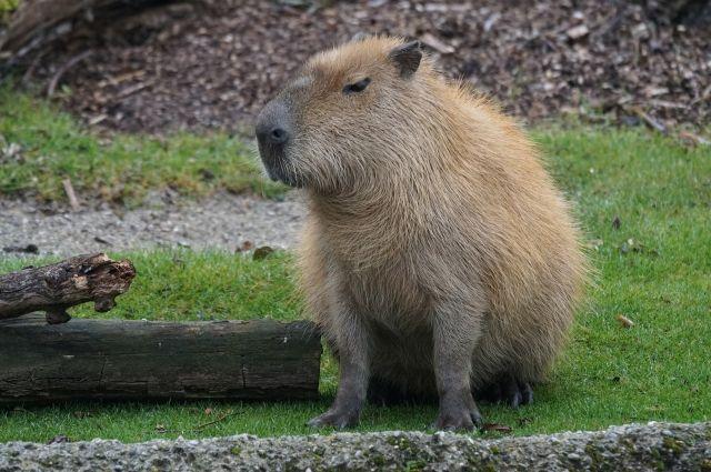 Семья изВоронежа спасла отодиночества капибару изомского зоопарка