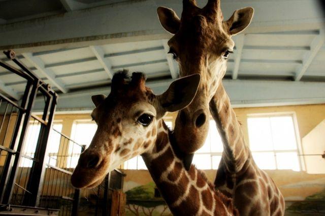 Жирафенку из калининградского зоопарка выбрали имя.