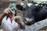 Мясо больных животных часто пускают на колбасу