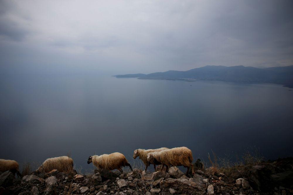 Овцы пасутся на скале недалеко от города Итеа, Греция.
