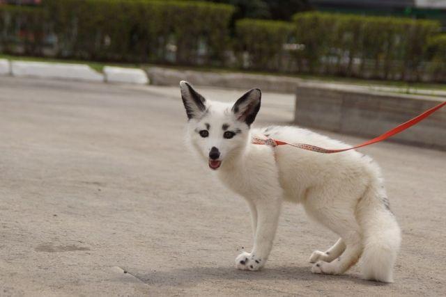 Питомец пермяка, лисёнок Шакира, на прогулке