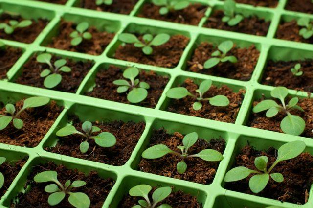 Тонкости посева и ухода. 10 секретов выращивания цветочной рассады