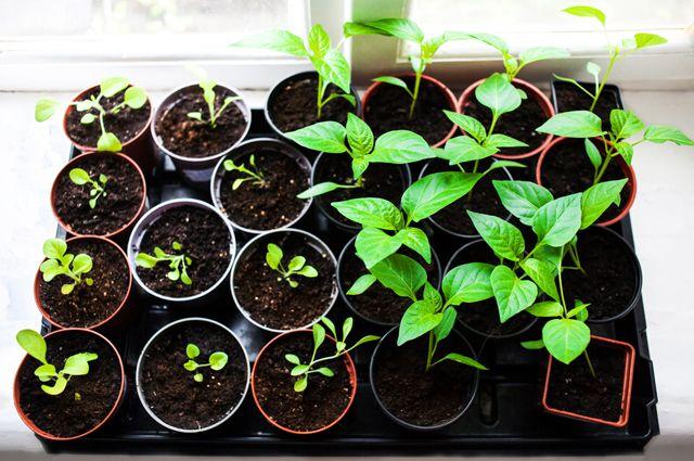 Раз горшок, два горшок. В чём лучше выращивать рассаду?