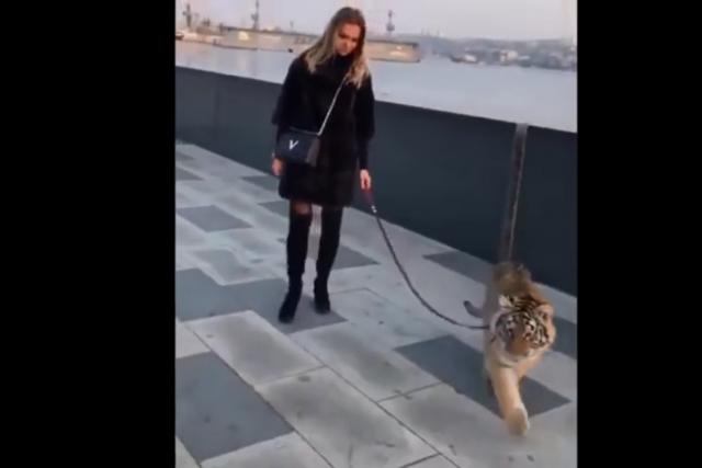 По набережной с тигром, как с котёнком.