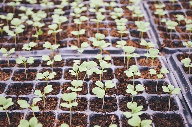 Высаживать семена на рассаду нужно в «правильную» почву.
