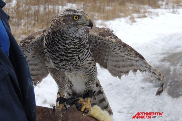 В комментариях местные жители восхитились грозной птицей: «Круто!»