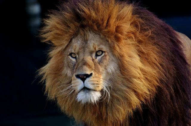 В зоопарке США у львицы выросла грива - Real estate