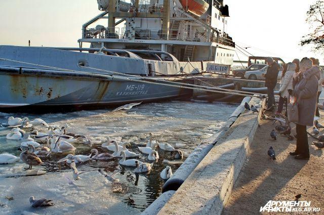 Пережить морозы (уже неделю в Калининградской области держатся минусовые температуры) стае помогают местные жители.