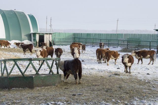Животноводы могут получить субсидии на покупку телят.