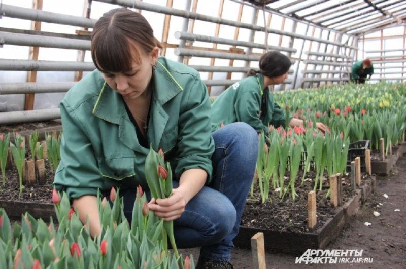 Каждый день в теплицах срезают по 3 – 4 тыс. тюльпанов.
