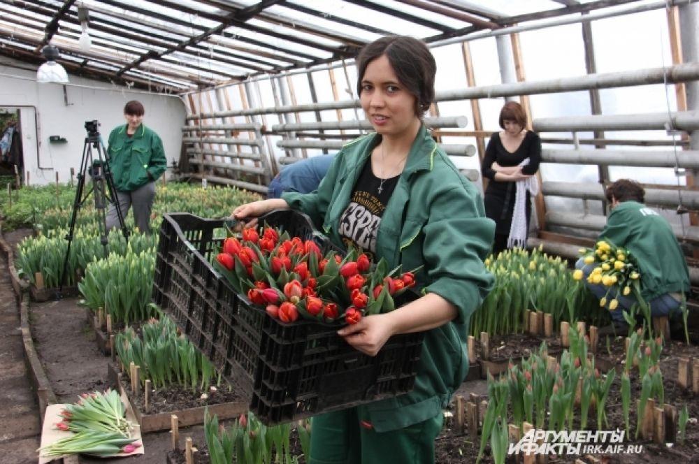 Собирать тюльпаны - работа нелегкая. Но делают ее в основном женщины.