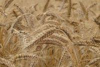 Тюменские аграрии обеспечивают внутриобластные потребности в зерне