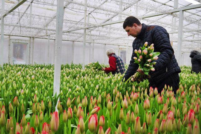 Новые сорта тюльпанов вырастили калининградские цветоводы к 8 Марта.