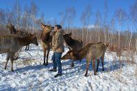 Благородные олени - животные пугливые, но при добром отношении привязываются к человек.