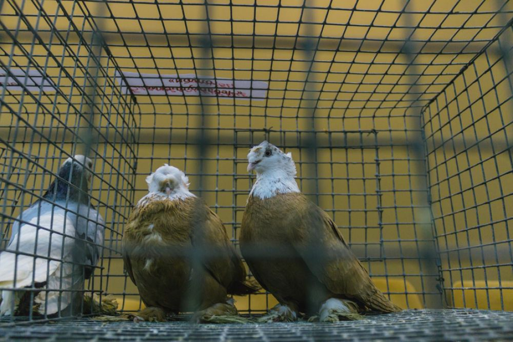 Гумбинские голуби