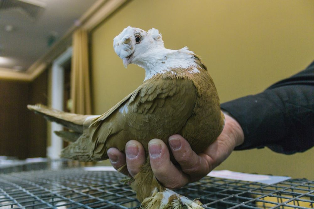 Благодарненские голуби.