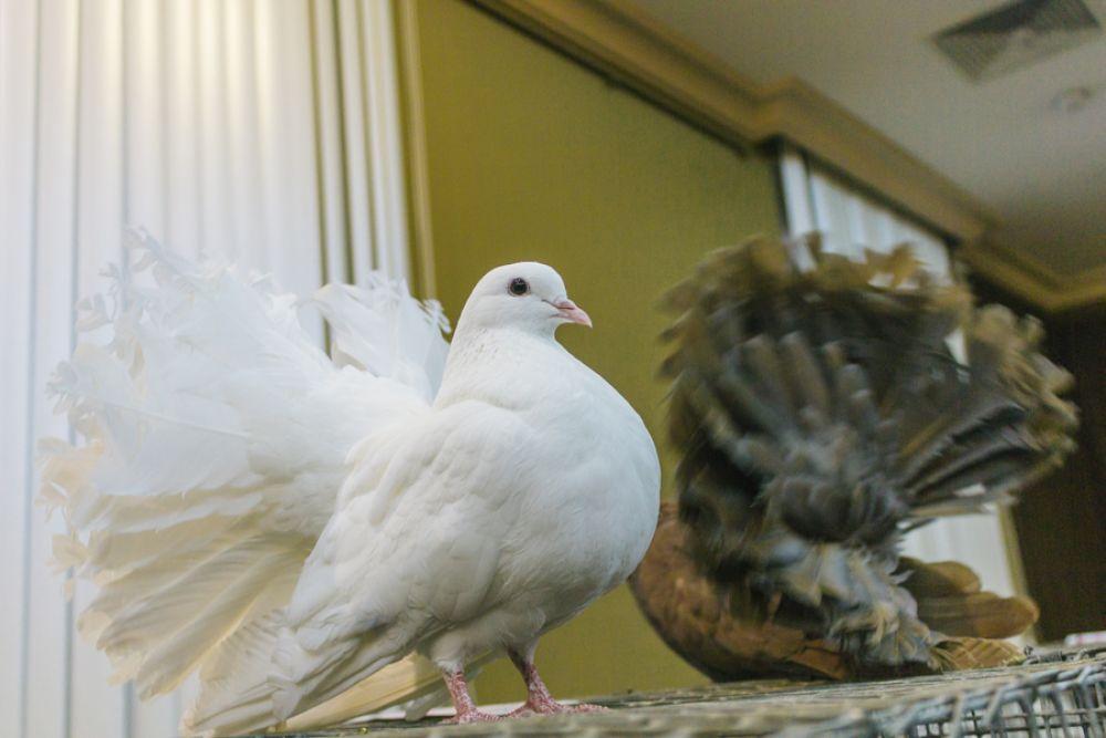 Павлиньи голуби