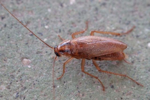 В одном из кемеровских магазинов нашли рыжих тараканов.