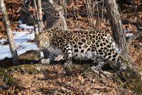 Очень редко дальневосточные леопарды решаются обзавестись потомство вдали от бескрайних широт тайги.