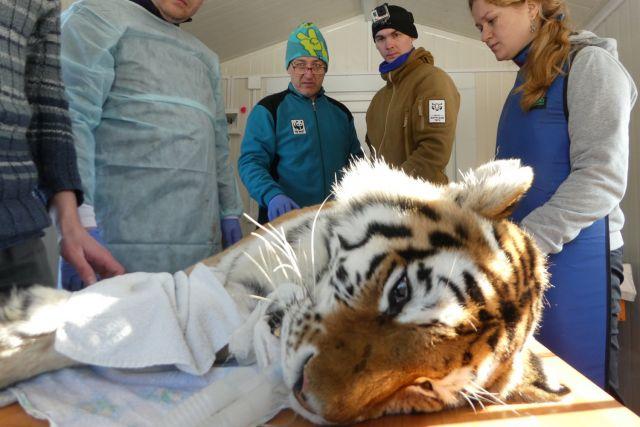 Зверь перенёс тяжёлую операцию, за его раны ответят браконьеры.