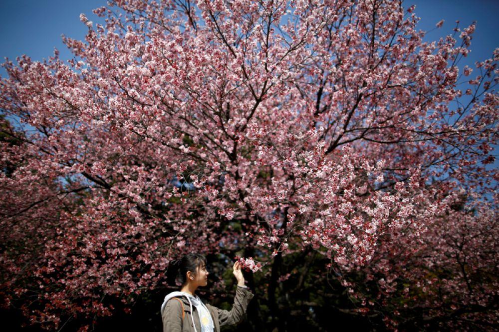 Цветущая сакура в Национальном парке Синдзюку-Гёэн в Токио, Япония.