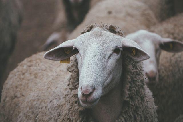 В Тяжинском районе 10 семей получили по паре овец.