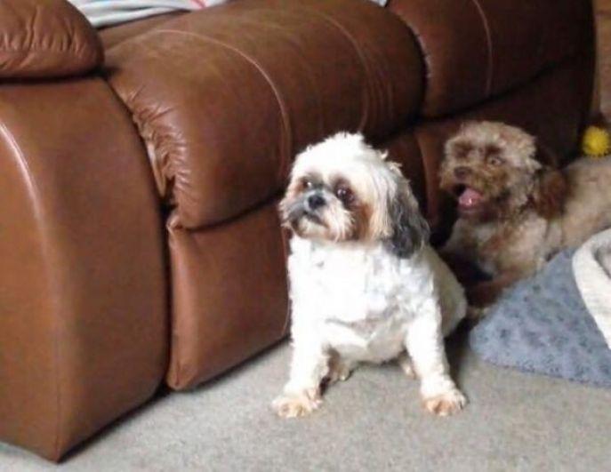 Если посадить Йоги рядом с другой небольшой собакой декоративной породы, его человекообразность еще больше бросается в глаза.