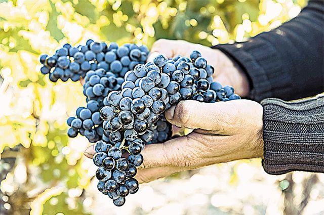 «Видно же, что этот виноград счастливый!» - говорят Бюрнье. Фото: Винный дом Бюрнье.