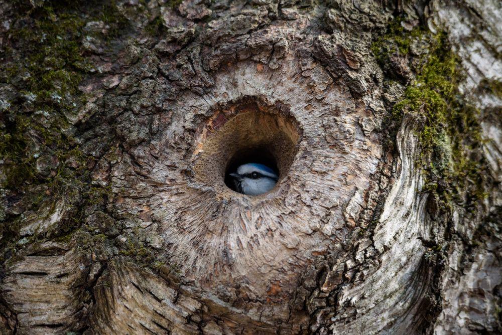 """Фото """"Лесное око."""" Лазоревка навестила дупло поползня, пока хозяин отсутствовал"""