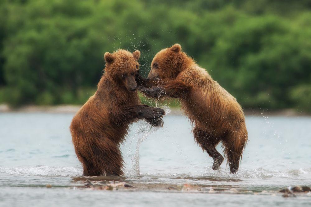 Фотография «Медвежьи танцы».