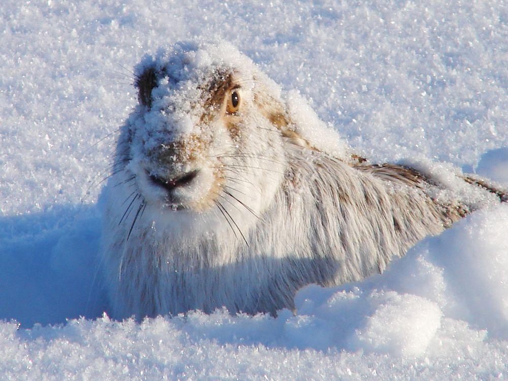 """""""Из-под снега"""".  Фото зайца-русака"""