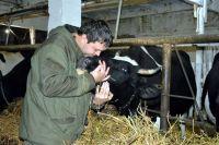 Сегодня у Панова 63 дойных коровы племенной черно-пестрой голштинской породы.