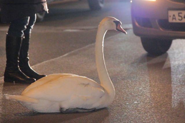 Птица могла погибнуть под колесами автомобиля.