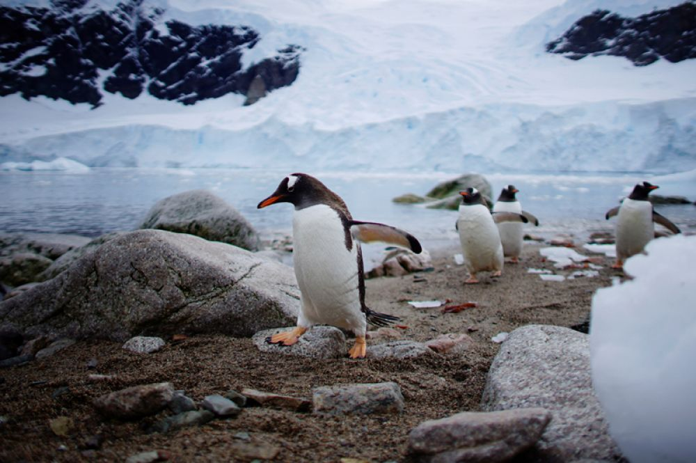 Пингвины в гавани Неко, Антарктида.