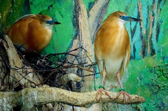 Самец носит веточки, а самка строит гнездо.