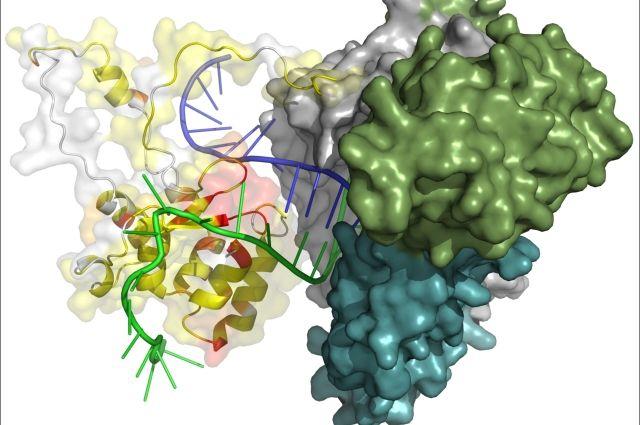 Модель каталитической субъединицы теломеразы H. polymorpha в комплексе с фрагментами теломеразной РНК и теломерной ДНК.