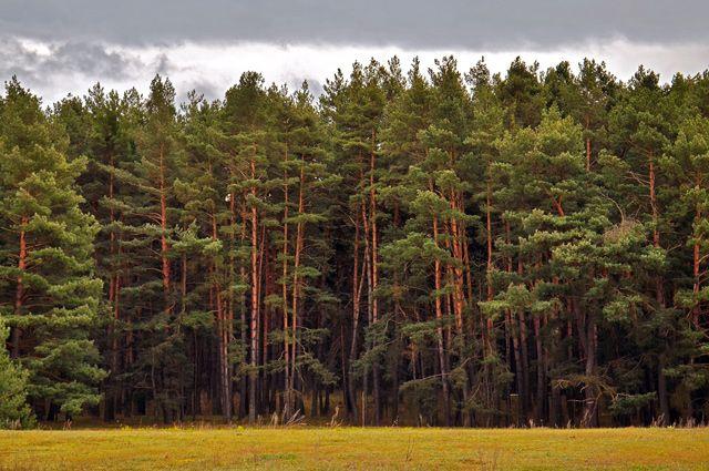 картинки лес сосновый