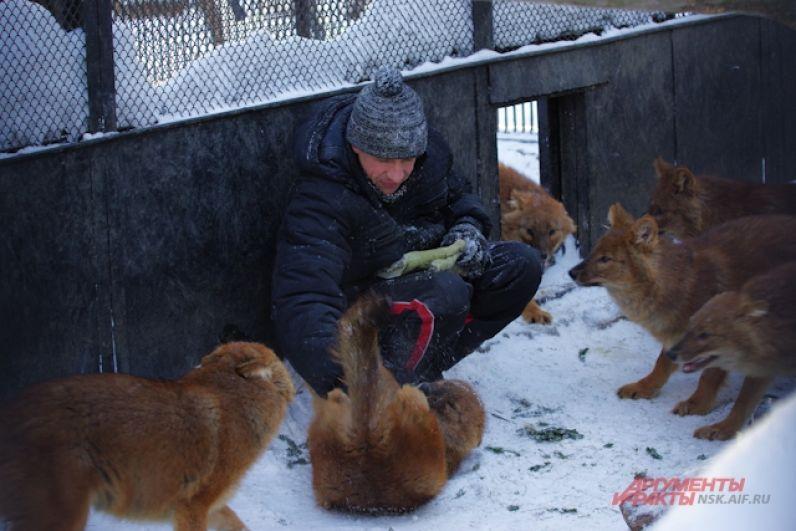 Тем не менее, волки и лисы весной становятся очень подвижными и игривыми, и не прочь порезвиться в вольере не только друг с другом, но и с сотрудником зоопарка.