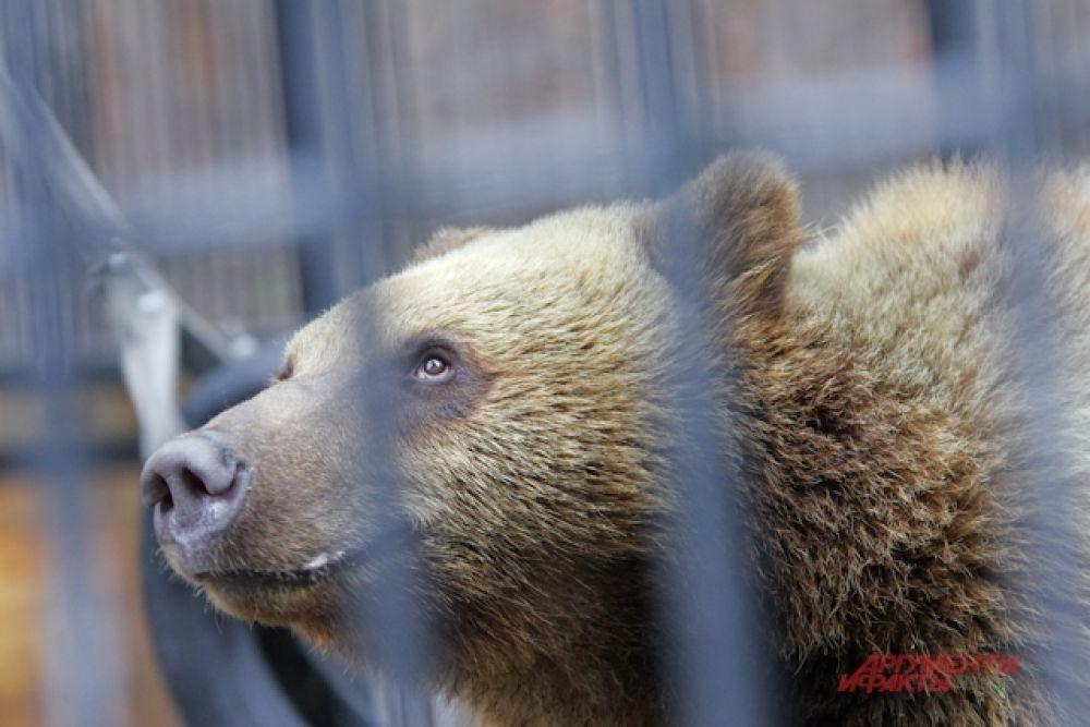 Главный вестник весны в зоопарке - медведь Лёха. Он, как и другие косолапые, из зимней спячки вышел в самом начале марта.