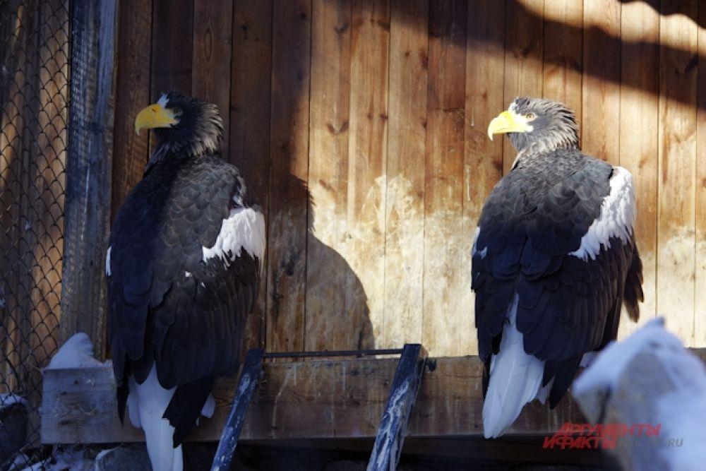 С первыми теплыми лучами пернатые заметно оживились и любят погреться на солнышке, расправив крылья, пока их более мелкие вольные собратья щебечут на соснах.