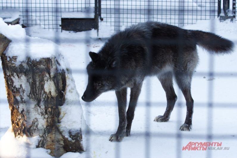 Некоторые обитатели после долгой зимы выглядят не лучшим образом. Так у волков и лис сейчас весенняя линька - зимнюю шубу пора менять на летнюю.