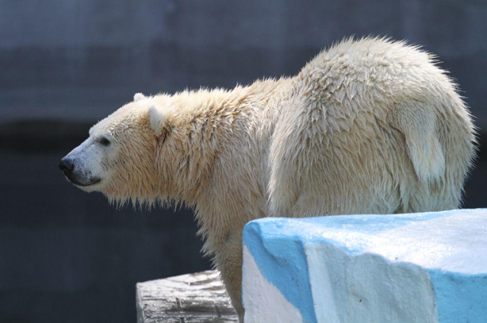 Кстати, у белых мишек уже в самом разгаре пляжный сезон - с первыми теплыми деньками в зоопарке им снова стали наполнять бассейн. Полярные обитатели плавают с удовольствием - для них вода никогда не холодная.