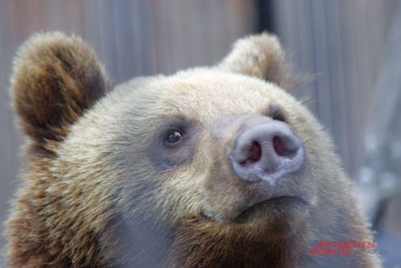 А вот к бурому медведю в гости так не заглянешь. Несколько лет назад Лёха откусил руку одной из посетительниц, которая решила его покормить через решетку. Кстати, после зимней спячки хищник обычно чувствует себя голодным, и подходить к вольеру близко точно не стоит.