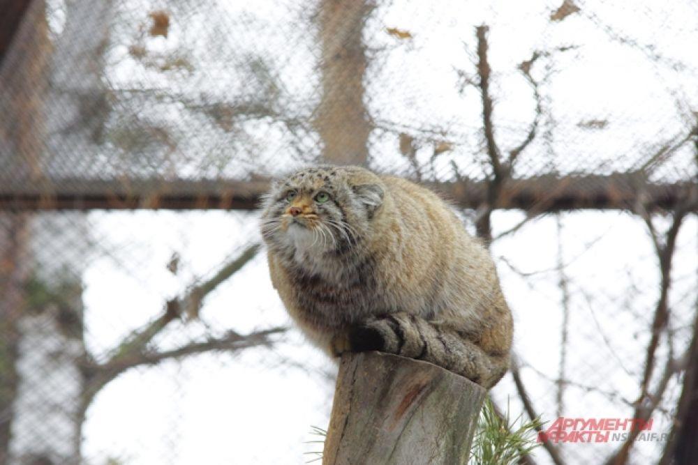 Как и все кошачьи, манул любит погреться весной на солнышке. Выглядывает его он, взобравшись повыше. Кстати, в отличие от манула в московском зоопарке, который как сообщала пресс-служба зверинца, приуныл из-за долгой зимы, новосибирский зверь выглядит вполне жизнерадостно. Правда, по мокрому снегу ходить не любит - предпочитает сидеть на крыше домика или ветках дерева.