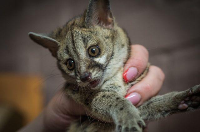Котята рождаются 2-3 раза в год.