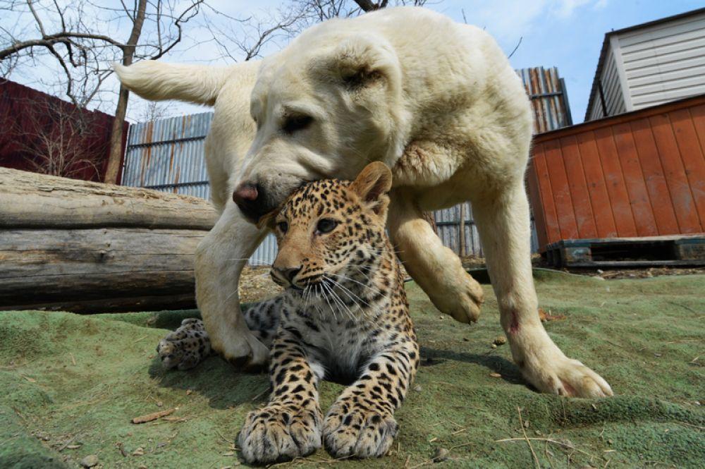 Среднеазиатская овчарка Эльза и детеныш африканского леопарда Милаша во время прогулки в владивостокском зоопарке. Собака взяла на воспитание леопарда после того, как от него отказалась мать.